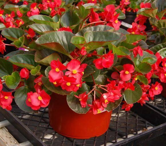 Wax Begonia - Flowering plants