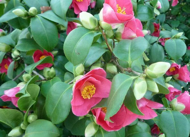 Camellia (Camellia japonica) – Flowering plants