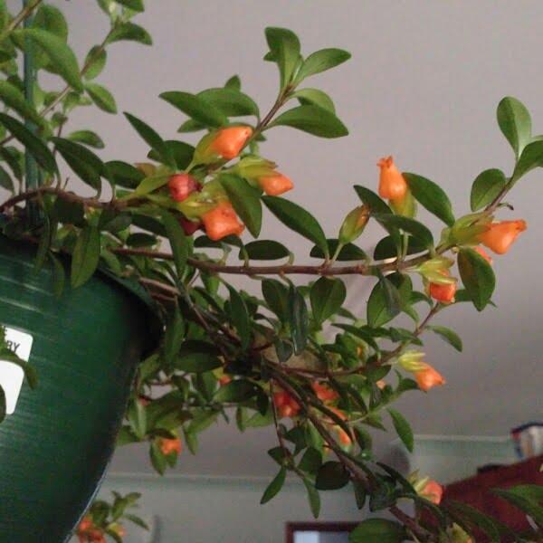 Goldfish Plant (Columnea gloriosa) - Flowering plants