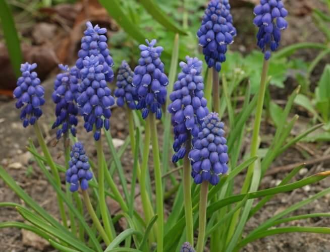 Grape Hyacinth (Muscari armeniacum) - Flowering plants