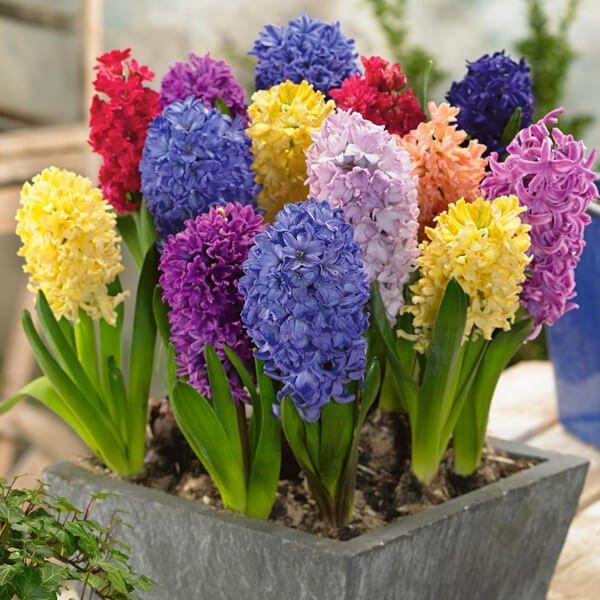 Hyacinth (Hyacinthus orientalis) - Flowering plants