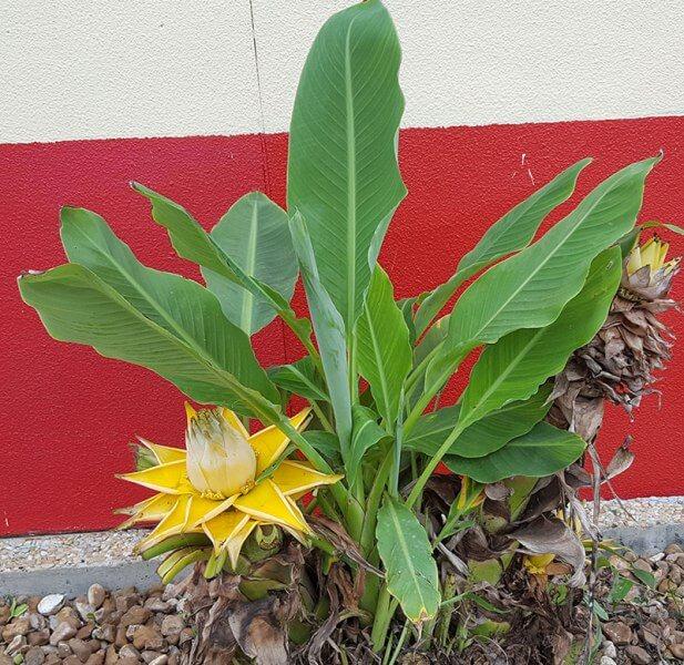 Musella lasiocarpa (Golden Lotus Banana) - Flowering plants