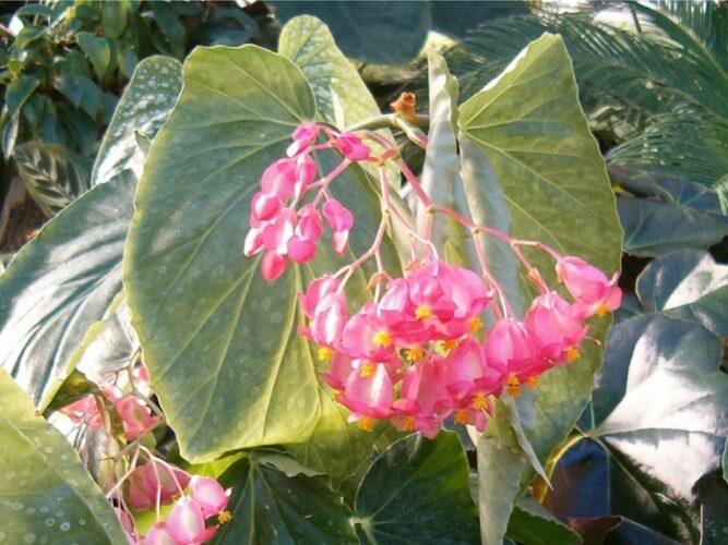 Angel Wing Begonia - Flowering plants