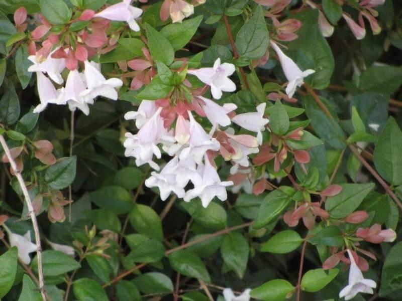 Glossy abelia - Flowering plants