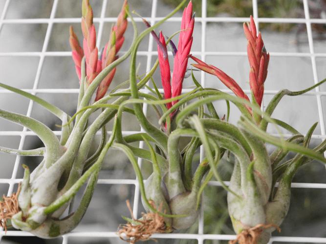 Octopus Plant (Tillandsia caput-medusae) - Flowering plants