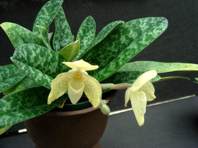 Paphiopedilum concolor - Flowering plants