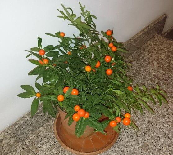 Winter cherry (Solanum capsicastrum) - Indoor Plants