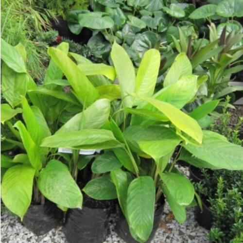 Ctenanthe compressa - Foliage Plants