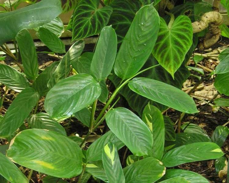 Ctenanthe lubbersiana - Indoor Plants