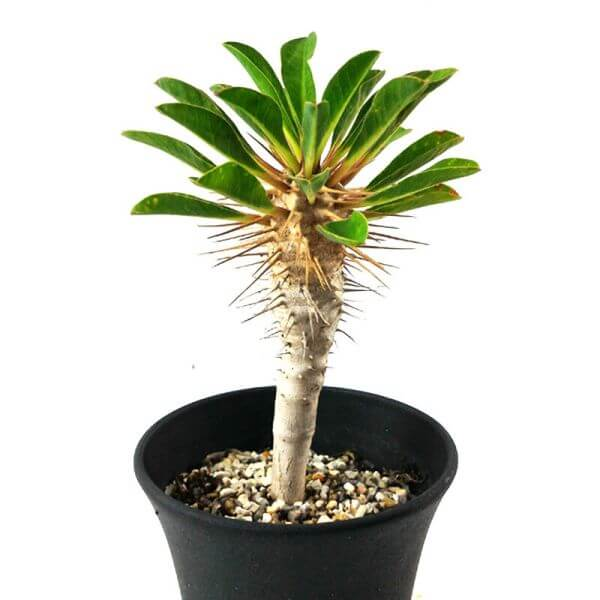 Euphorbia guillauminiana - Succulent plants