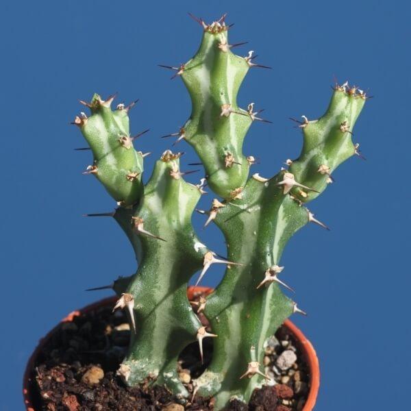 Euphorbia knuthii - Succulent plants