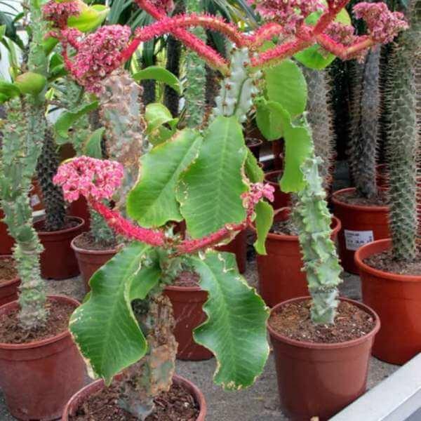 Euphorbia neoarborescens - Succulent plants