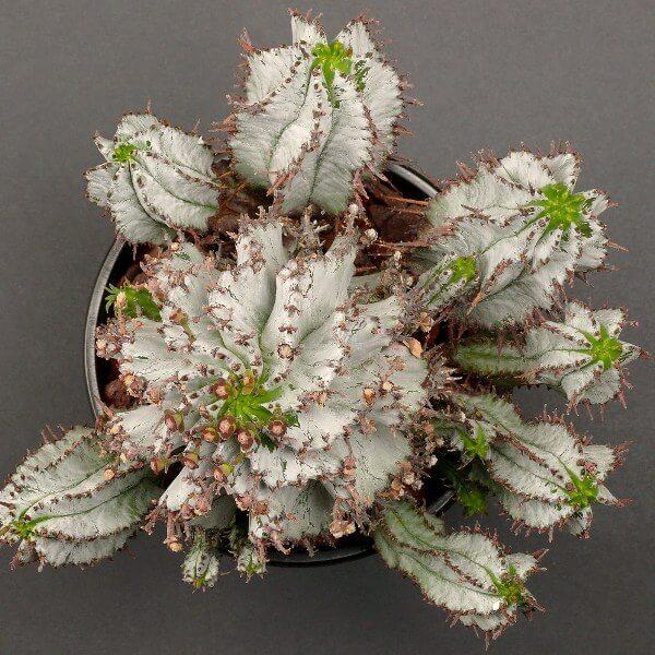 Euphorbia polygona 'Snowflake' - Succulent plants