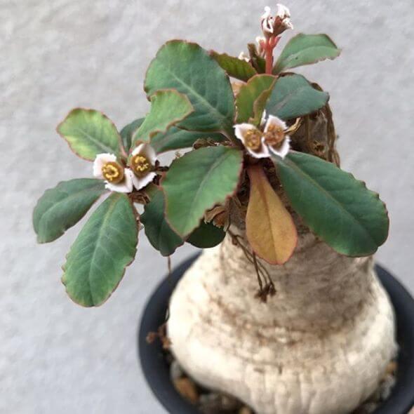 Euphorbia primulifolia - Succulent plants