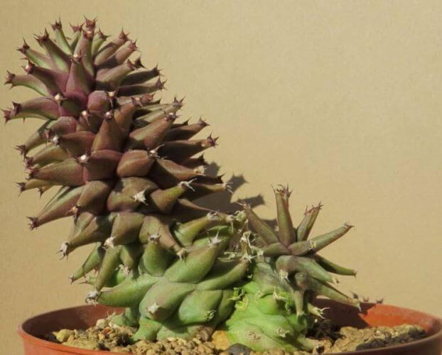 Euphorbia schubei - Succulent plants