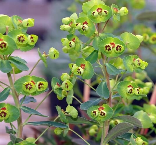 Martin's Spurge (Euphorbia x martini) - Succulent plants