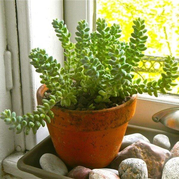 Sedum burrito (Burro's Tail) - Succulent plants