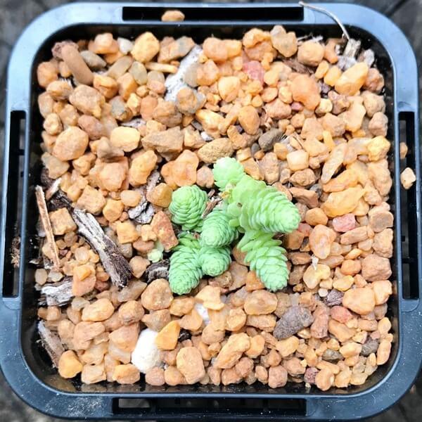 Sedum greggii - Succulent plants