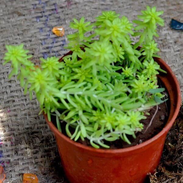 Golden Sedum (Sedum rupestre 'Angelina') - Succulent plants