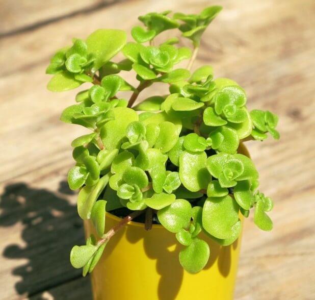 Japanese Sedum (Sedum makinoi 'Limelight') - Succulent plants