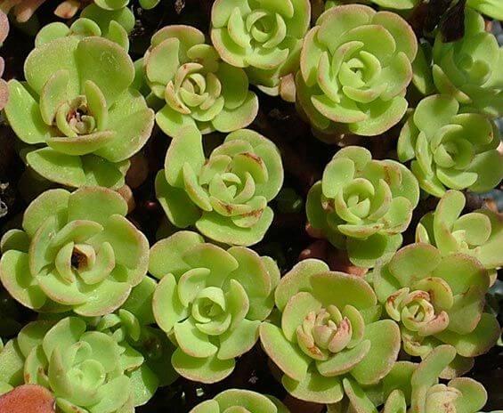Sedum nevii (Nevius' Stonecrop) - Succulent plants