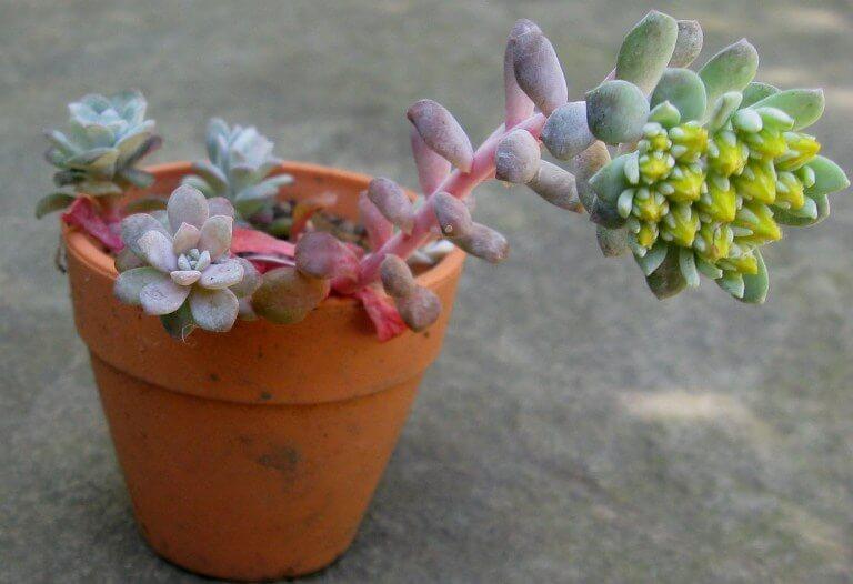 Sedum spathulifolium (Broadleaf Stonecrop) - Succulent plants