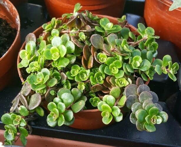 Sedum tetractinum 'Coral Reef' (Chinese Sedum) - Succulent plants