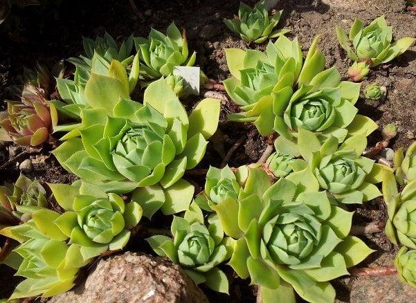 Sempervivum wulfenii (Hen and Chicks) - Succulent plants