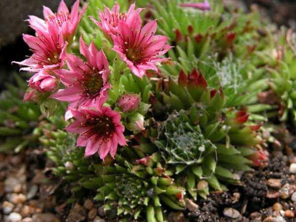 Sempervivum barbulatum 'Hookeri' - Succulent plants