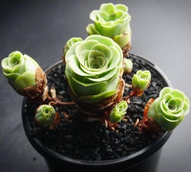 Aeonium aureum - Succulent plants