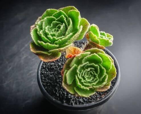 Aeonium smithii - Succulent plants