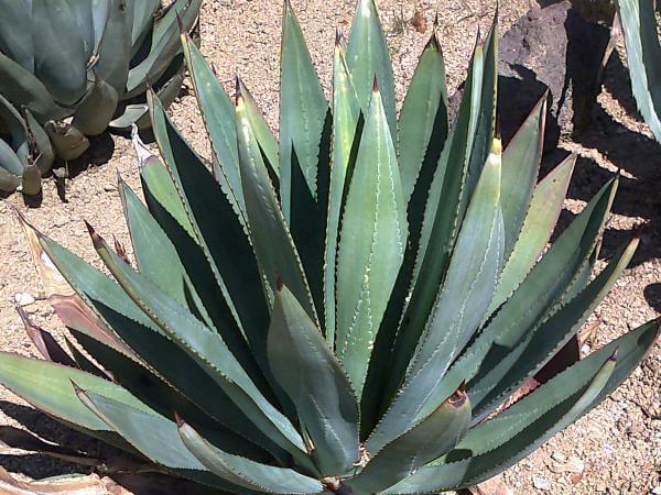 Agave murpheyi (Hohokam Agave) - Succulent plants