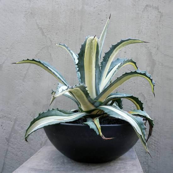 Agave americana 'Mediopicta' - Succulent plants