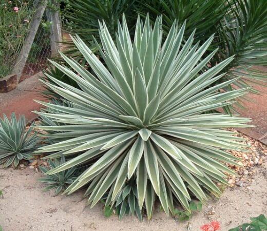 Agave angustifolia 'Marginata' - Succulent plants