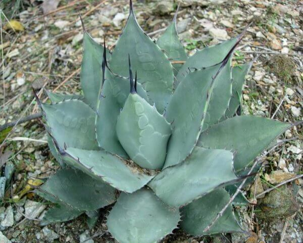 Huachuca Agave (Agave parryi var. huachucensis) - Succulent plants
