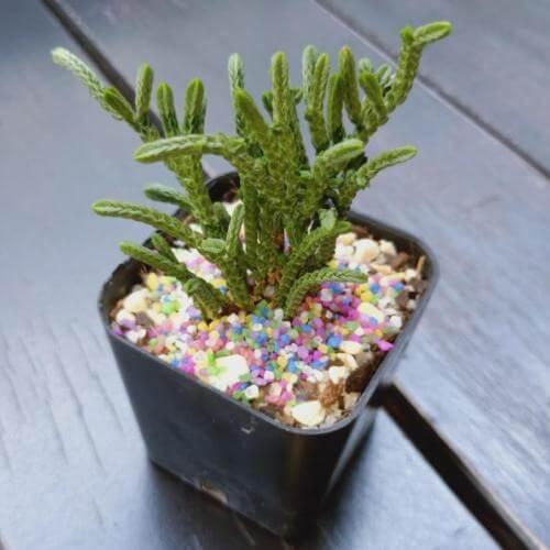 Crassula 'Imperialis' (Giant Watch Chain) - Succulent plants