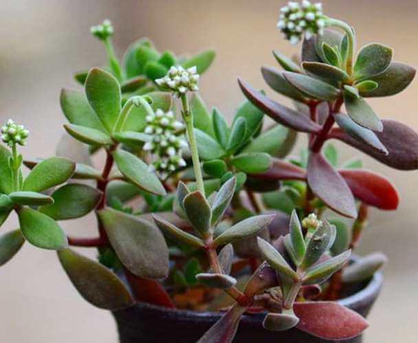 Crassula atropurpurea var. watermeyeri - Succulent plants