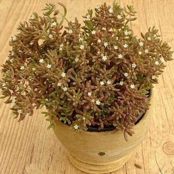Crassula humbertii - Succulent plants