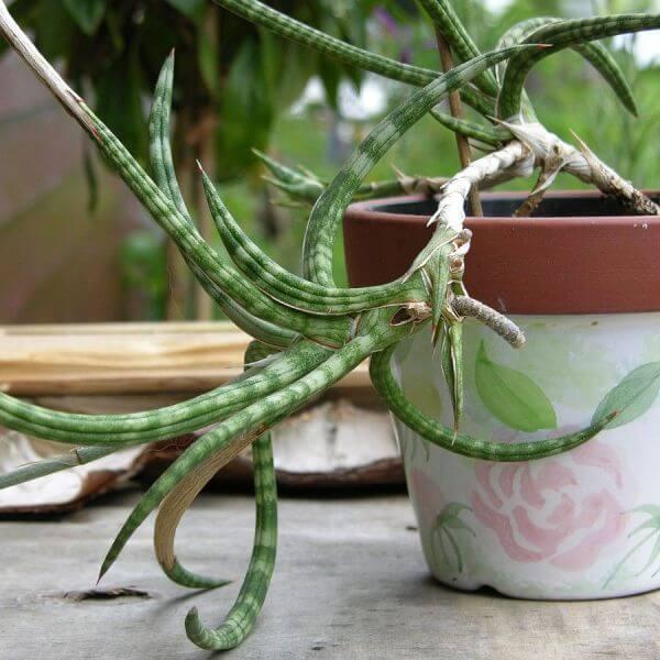 Sansevieria gracilis - Succulent plants
