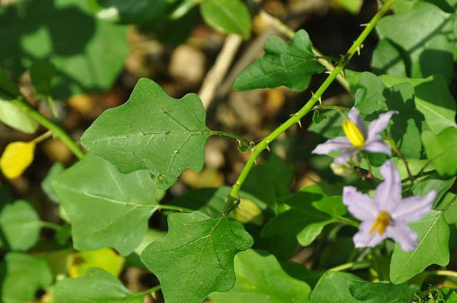 Solanum trilobatum - Herb garden