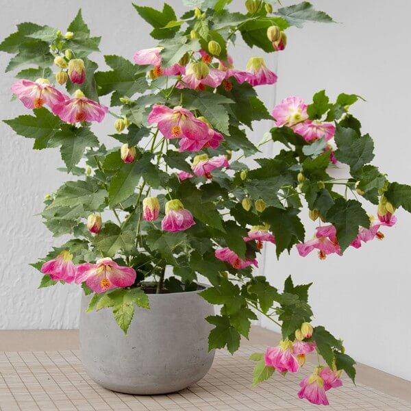 Abutilon 'Pink Parasol' (Flowering Maple) - Flowering plants