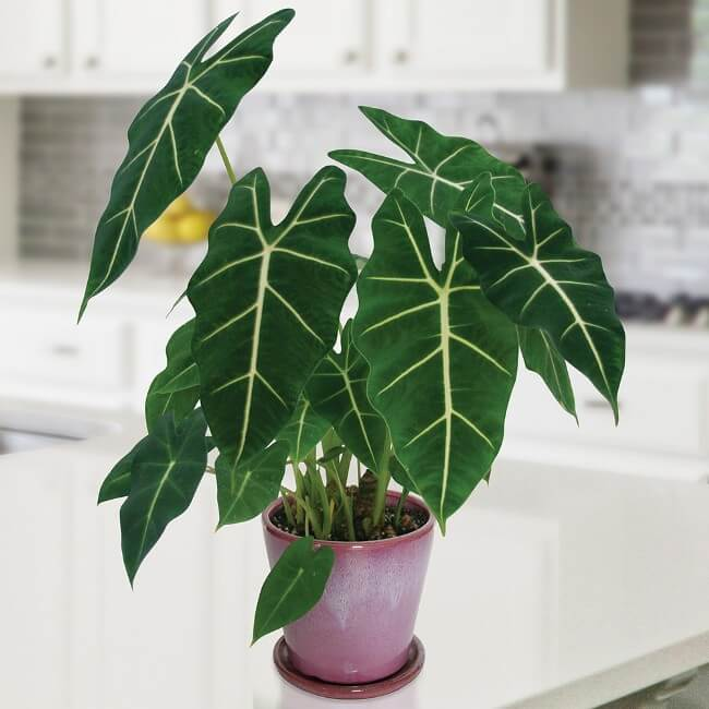 Alocasia Frydek - Indoor House Plants