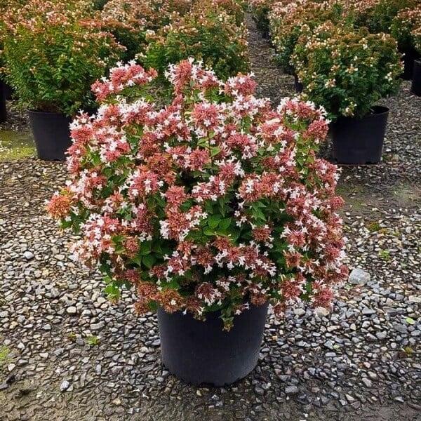 Rose Creek Abelia - Flowering plants