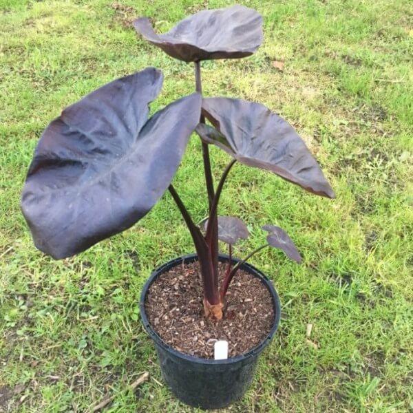 Taro (Colocasia esculenta 'Black Coral')