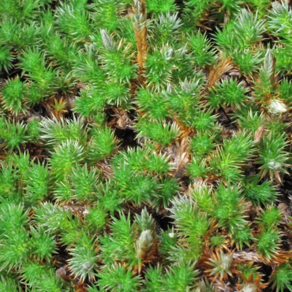 Selaginella peruviana 'Burnet'