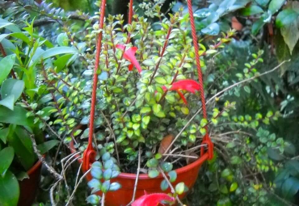 Columnea microphylla (Goldfish Plants) - Flowering plants