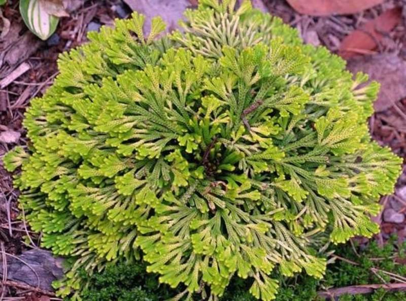 Selaginella tamariscina 'Golden Sprite'