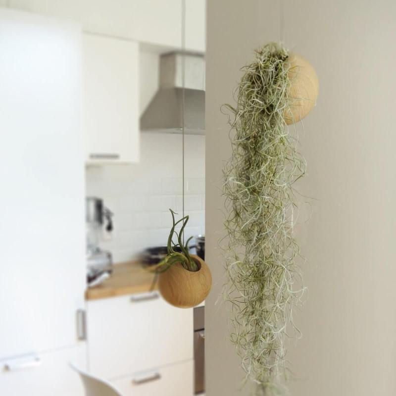 Spanish moss (Tillandsia usneoides) - Indoor Plants