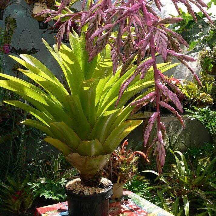 Tillandsia australis - Flowering plants