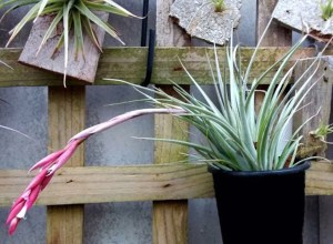 Tillandsia guelzii - Flowering plants